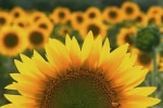 girasole-californiani
